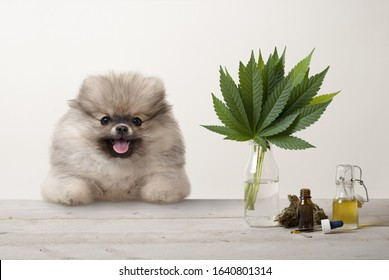 smiling pomeranian puppy dog and marujuana cannabis sativa weed leaves, flower bud and CBD oil in glass dropper bottle, on wooden table