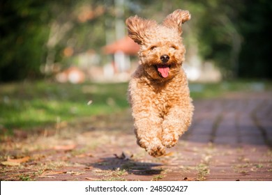 Smiling poodle dog running in the park.