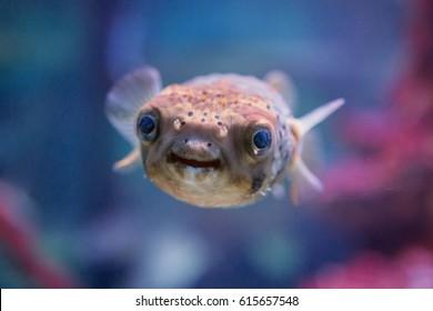 Smiling Pufferfish