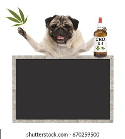 smiling pug puppy dog, holding bottle of CBD oil and hemp leaf, with blank blackboard sign, isolated on white background