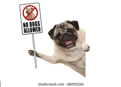 smiling pug puppy dog holding up prohibitory no dogs allowed sign, isolated on white background