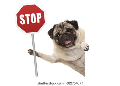 smiling pug puppy dog holding up red traffic stop sign, isolated on white background