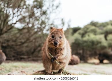 Smiling quokka posing for the camera, Rottnest Island, Western Australia. Quokka - the happiest animal on Earth