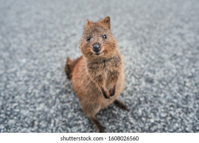 Smiling quokka posing for the camera, Rottnest Island, Western Australia. Quokka - the happiest animal on Earth
