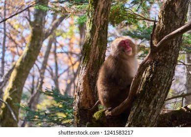Smiling Red Face Snow Monkey (Japanese Macaque, Macaca Fuscata) Sit on Branch of Tree in Kamikochi National Park Nagano Japan, Toruist Destination during Autumn Season in Japan