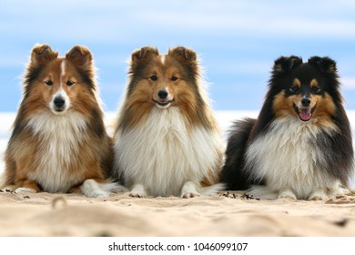 Smiling sable white and black tricolor shetland sheepdogs, shelties lies on a sandy beach. Small collie, little lassies outside on a summer day with background of blue sky heaven