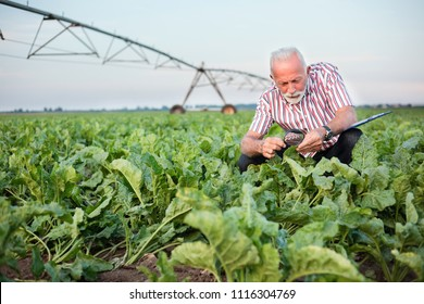Smiling senior agronomist or farmer examining sugar beet or soybean leaves with magnifying glass. Looking for aphid or other parasites. Irrigation system in background. Organic food production.