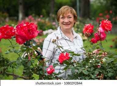 smiling senior woman gardener with horticultural tools working with red roses in garden