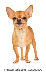 Smiling short-coated chihuahua on a white background