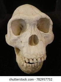 Smiling skull at Natural History Museum, London, Uk