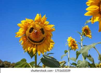 Smiling sunflower field. Cheerful, face with a butterfly on his nose. Yellow flower on a blue sky. Laughter, smile, joy. Summer mood, fun. Place for text.