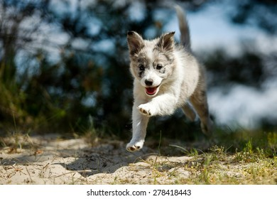 A smiling sweet little gray and white border collie pup is making a jump while running happily trough nature
