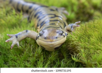 Smiling Tiger Salamander