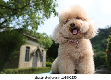 smiling toy poodle
