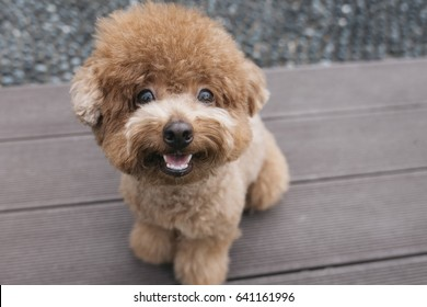 Smiling Toy Poodle sitting on the bench