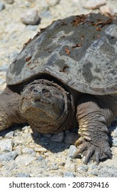 Smiling Turtle, a snapping turtle on the gravel road in Bombay Hook State Park.