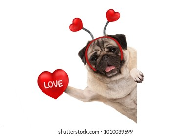 smiling Valentine's day pug dog holding up red heart with text love, isolated on white background