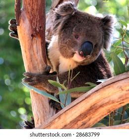 Smiling Victorian Koala in a Eucalyptus Tree, Adelaide, Australia