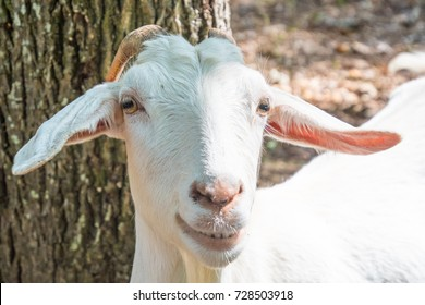 smiling white goat face