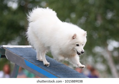 Smiling white japanese small spitz running dog agility dogwalk during competition in summer time. Fluffy little dog, smart happy tail