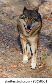 smiling wolf