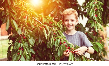 Smilling child picking red cherries from tree in garden at home on summer day – happy little boy enjoying pick season at farm orchard in summer eating healthy fruits