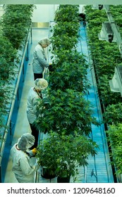 Smith Falls, ON/Canada - Oct 22, 2018 -Workers at a cannabis grow facility trimming plants.