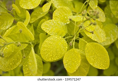Smoke bush - Cotinus coggygria with rain drops on green leaves.