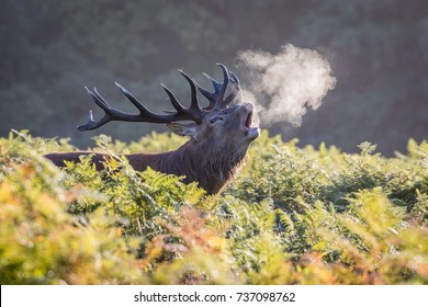 A smoking stag. Stag roaring in the cold morning air causes his breath to cloud around him like he's smoking.