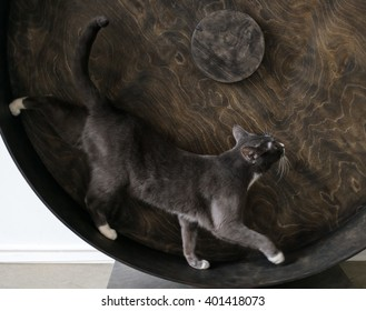 Smoky cat running on exercise wheel.