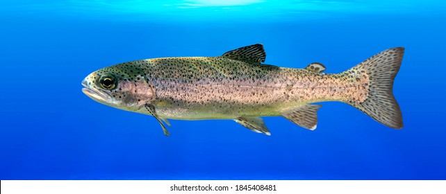 Smolt fish. A Smolt is a stage of a salmon life cycle that is getting ready to go out to sea. Clipping path. - Shutterstock ID 1845408481