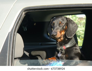 Smooth black and tan dachshund looks out of car window