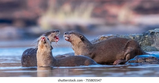 Smooth Coated Otters playing