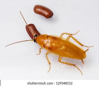 Smooth cockroach - Symploce pallens with egg sacks isolated on white