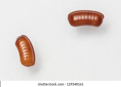 Smooth cockroach - Symploce pallens egg sacks isolated on white