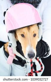 Smooth Collie dog wearing ski safety helmet in winter
