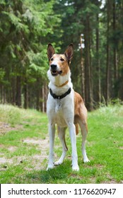 Smooth collie in forrest