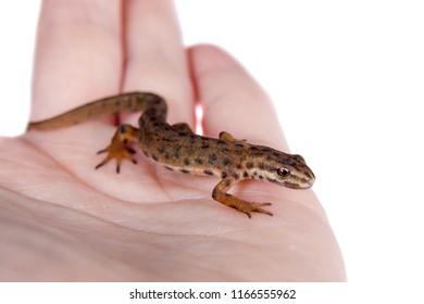 The smooth or common newt, Lissotriton vulgaris, on white