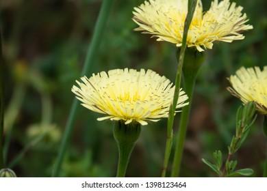 Smooth Golden Fleece Inflorescence in Springtime