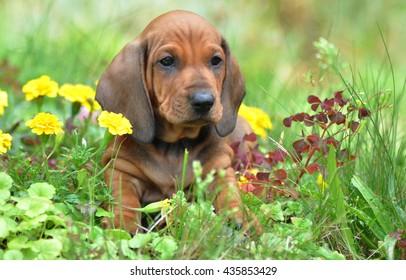 Smooth haired Dachshund's puppy sitting in the garden near flowers