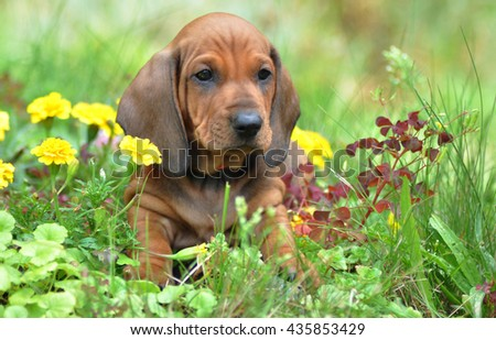 Smooth Haired Dachshunds Puppy Sitting Garden Stock Photo (Edit Now
