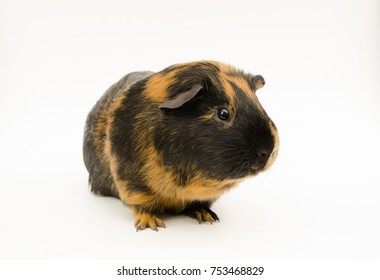 smooth haired guinea pig (brindle, looks sideways)