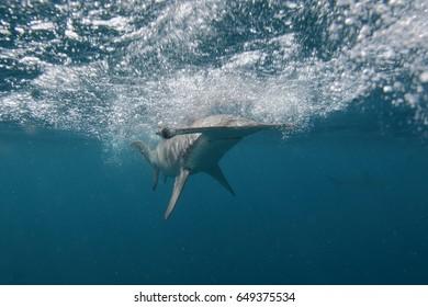 smooth hammerhead shark, Sphyrna zygaena, Cape Infanta, South Africa, Indian Ocean