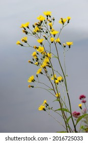 Smooth Hawkweed (Hieracium laevigatum willd) flowering in Llangollen