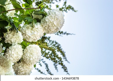 Smooth Hydrangea 'Annabelle' (Hydrangea arborescens), an attractive ornamental plant with green leaves and lush flower balls.