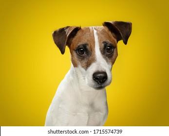 黄色い背景にスムーズなジャック・ラッセル・テリアー。幸せで魅力的な犬。