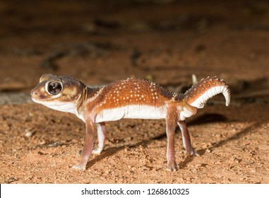 Smooth Knob tailed Gecko