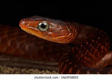 Smooth machete snake (Chironius scurrulus)