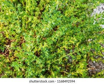 Smooth rupturewort, Herniaria glabra, growing in Galicia, Spain