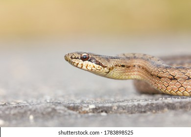 Smooth snake, Austrian Coronella, snake in attack position, Vigo, Spain.